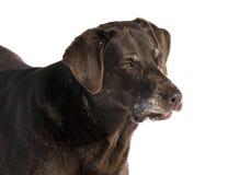 Labrador retriever del chocolate Foto de archivo