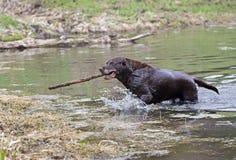 Labrador retriever del chocolate Imagenes de archivo