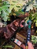 Labrador retriever del chocolate que intenta comer el agua que sale de una manguera de jardín, rodeada por las camas aumentadas d foto de archivo