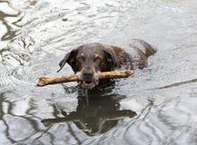 Labrador retriever del cioccolato Immagini Stock Libere da Diritti
