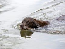 Labrador retriever del cioccolato Immagine Stock Libera da Diritti