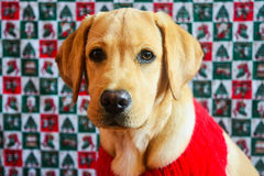 Labrador retriever del oro en suéter rojo en fondo de la Navidad foto de archivo libre de regalías