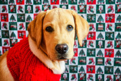 Labrador retriever del oro en suéter rojo en fondo de la Navidad foto de archivo