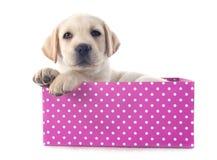Labrador retriever del perrito en caja foto de archivo libre de regalías