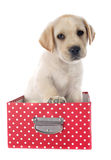 Labrador retriever del perrito en caja foto de archivo