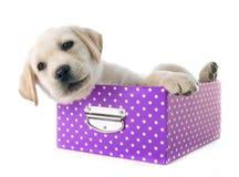 Labrador retriever del perrito en caja imagenes de archivo