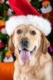 Labrador retriever del perro de Christhmas Imagen de archivo