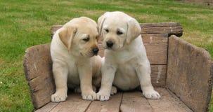 Labrador retriever, deux chiots jaunes dans une brouette, Normandie en France, mouvement lent banque de vidéos