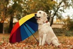 Labrador retriever divertido debajo del paraguas en parque foto de archivo libre de regalías