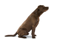 Labrador Retriever dog Stock Images
