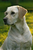 Labrador retriever dog. Female labrador retriever dog portrait with sun backlight Stock Image