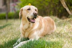 Free Labrador Retriever Dog Royalty Free Stock Images - 183458509