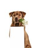 Labrador retriever dog above banner Stock Photos