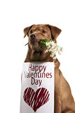 Labrador retriever dog above banner Stock Image