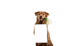 Labrador retriever dog above banner Stock Photography