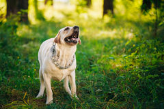 Labrador Retriever Dog Barking Outdoor In Green. White Labrador Retriever Dog Barking Outdoor In Green Grass, Forest Park Background Stock Photography