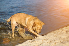 Labrador retriever dog on beach. Red Retriever digging pit. Sun flare Royalty Free Stock Photos