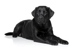 Labrador retriever dog Royalty Free Stock Photo