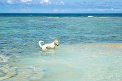 The Labrador Retriever dog in blue sea with clear blue sky at Koh Chang island in Thailand. The Labrador Retriever dog in blue sea with clear blue sky at Koh Royalty Free Stock Photo