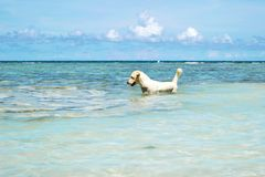 The Labrador Retriever dog in blue sea with clear blue sky at Koh Chang island in Thailand. The Labrador Retriever dog in blue sea with clear blue sky at Koh Stock Photos