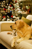 Labrador retriever dog and Christmas tree Stock Photo