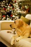 Labrador retriever dog and Christmas tree. Labrador retriever dog resting on the sofa near the Christmas tree Stock Photo