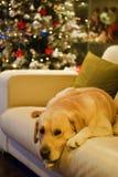 Labrador retriever dog and Christmas tree. Labrador retriever dog resting on the sofa near the Christmas tree Royalty Free Stock Images