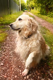 Labrador retriever she dog close up photo. On summer country background Stock Photography