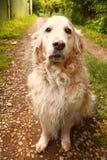 Labrador retriever she dog close up photo. On summer country background Royalty Free Stock Photos