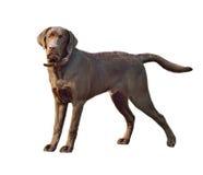 Labrador retriever dog Stock Photos