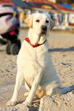 Labrador Retriever dog is guarding buggy Royalty Free Stock Photography