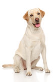 Labrador retriever dog. Happy Labrador dog sits on a white background royalty free stock photos