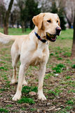 Labrador retriever dog holding the ball in his mouth Royalty Free Stock Photos