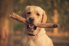Labrador Retriever dog holding a stick in training. Beauty Labrador Retriever dog holding a stick in training Stock Image