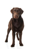 Labrador retriever dog Stock Photography