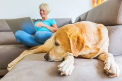 Labrador lies on a couch while a mature woman works with a laptop in the background Royalty Free Stock Images