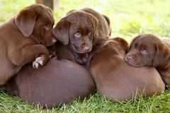 Labrador Retriever dog litter of pups Stock Photos