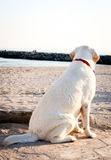 Labrador retriever dog looking at the sea and sky Stock Photo