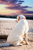 Labrador retriever dog looking at the sea and the sunset Stock Images