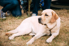Labrador Retriever Dog Lying Outdoor Stock Images
