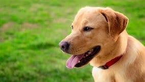 Labrador retriever dog in the meadow Stock Image