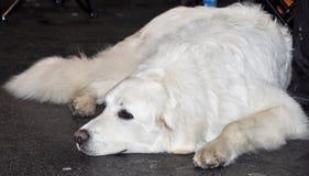 Labrador Retriever dog stock images
