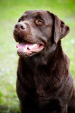 Labrador retriever dog outdoors Royalty Free Stock Photo