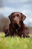 Labrador retriever dog outdoors Royalty Free Stock Images