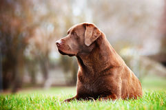 Labrador retriever dog outdoors Stock Photo