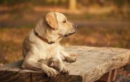Labrador Retriever dog in the park royalty free stock photos