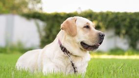 Labrador retriever dog in park. Dog breed labrador retriever on walk in park. Beautiful dog lying in the meadow and looking. Pet and domestic animal concept stock video footage