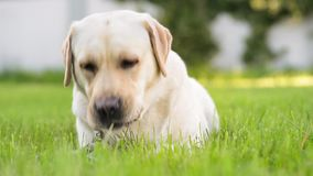 Labrador retriever dog in park. Dog breed labrador retriever on walk in park. Beautiful dog lying in the meadow and looking. Pet and domestic animal concept stock footage