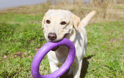 Labrador retriever dog playing with rubber toy Stock Photo