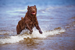 Labrador retriever dog playing at the sea Royalty Free Stock Photos